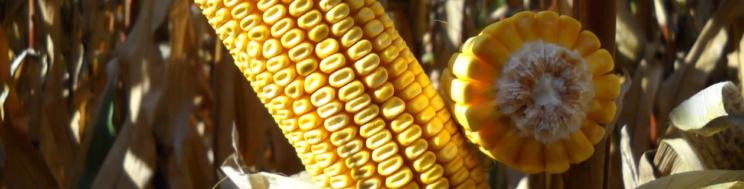 LG 34.90: a variedade de milho mais vendida em Espanha
