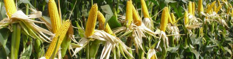NOTAS TÉCNICOS MILHO GRÃO: Densidade de sementeira ótima