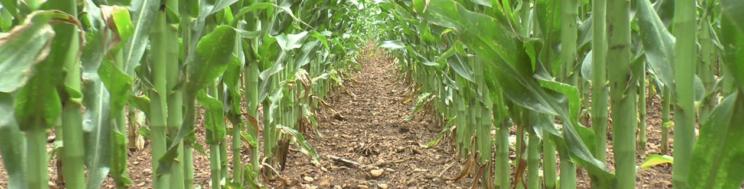 NOTAS TÉCNICAS MILHO GRÃO: a importância da sementeira